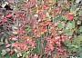Podzimní vybarvení