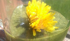 Smoothie z pampeliškových listů - detoxikační 2 týdenní kůra